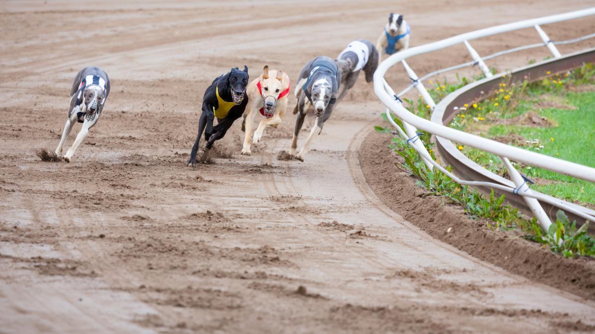 Greyhound dogs racing